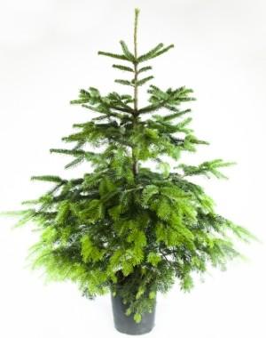 best service 23088 c936c Trees – York Christmas Trees